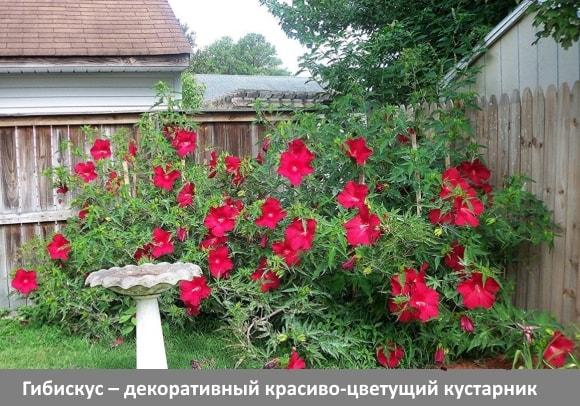 Гибискус – декоративный красиво-цветущий кустарник