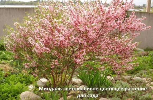 Миндаль - светолюбивое цветущее растение для сада