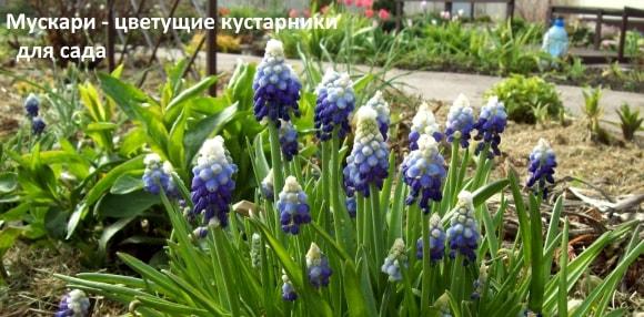 Мускари - цветущие кустарники для сада