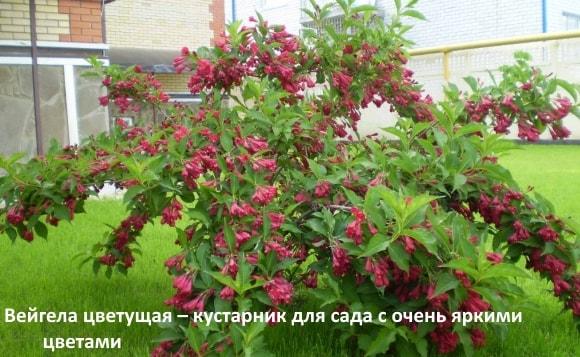 Вейгела цветущая – кустарник для сада с очень яркими цветами